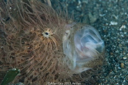 Hairy Frogfish yawning. by Allen Lee 